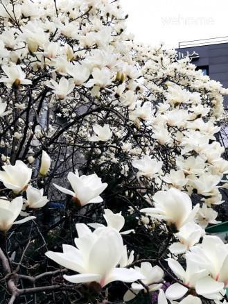 목련꽃 핀 정원