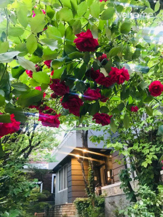 여름 장미가 핀 정원