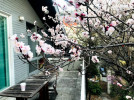 살구꽃 핀 나루정원, 2층 테라스에서는 살구꽃 그늘 아래에서 커피와 식사를 할 수 있습니다.