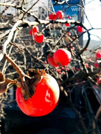 정원의 감나무, 늦가을에 오시면 따서 드셔도 됩니다.