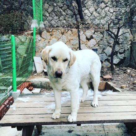 강아지 태리입니다. 래브라도 리트리버 종으로 엄청 순하고 착합니다.